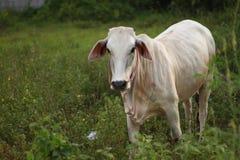Mucca bianca Fotografia Stock Libera da Diritti