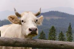 Mucca bianca Fotografie Stock Libere da Diritti