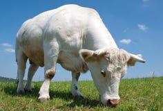 Mucca bianca Fotografie Stock
