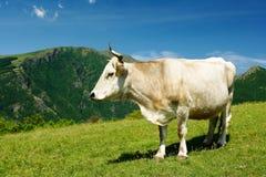 Mucca bianca in alte montagne Fotografie Stock Libere da Diritti