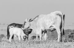 Mucca bianca che lecca il suo vitello neonato fotografie stock