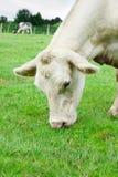 Mucca bianca che mangia erba Fotografia Stock