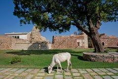 Mucca bianca che pasce nel cortile del palazzo reale Fotografia Stock Libera da Diritti