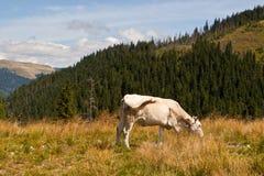 Mucca bianca che pasce nelle montagne Immagini Stock
