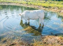 Mucca bianca che sta nell'acqua Fotografia Stock Libera da Diritti