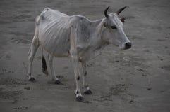 Mucca bianca del toro Fotografie Stock