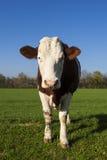 Mucca bianca e marrone su erba verde Fotografia Stock Libera da Diritti