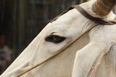 Mucca bianca indiana su una via a Delhi Immagine Stock