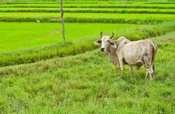 Mucca bianca nel paesaggio del giacimento del riso Fotografia Stock
