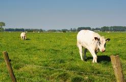 Mucca bianca in prato fotografia stock libera da diritti