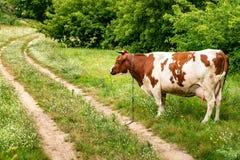 Mucca bianca rossa sul campo vicino al sentiero per pedoni fotografie stock libere da diritti