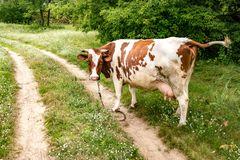 Mucca bianca rossa sul campo vicino al sentiero per pedoni fotografia stock