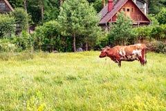Mucca bianca rossa sul campo vicino al sentiero per pedoni immagini stock