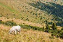 Mucca bianca sul prato dell'altopiano Fotografia Stock Libera da Diritti