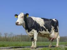 Mucca in bianco e nero con le grandi mammelle piene fotografia stock libera da diritti