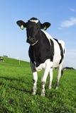 Mucca in bianco e nero del frisone dell'Holstein Immagine Stock