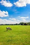 Mucca in bianco e nero dell'Holstein che pasce da solo nel prato Fotografia Stock