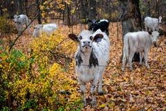 Mucca in bianco e nero fiera nella caduta fotografia stock libera da diritti
