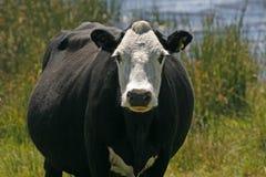 Mucca in bianco e nero, Inghilterra Fotografia Stock