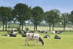 Mucca in bianco e nero su un'azienda agricola fotografie stock