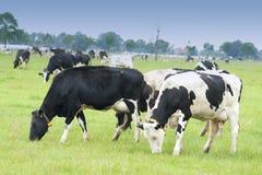 Mucca in bianco e nero su un'azienda agricola Immagine Stock