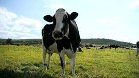 Mucca in bianco e nero in un pascolo