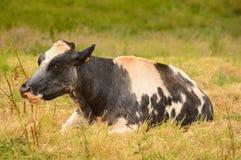 Mucca blu e bianca che riposa nel campo Fotografie Stock Libere da Diritti