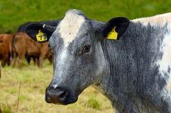Mucca blu e bianca nel campo Immagine Stock