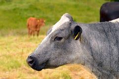 Mucca blu e bianca nel campo Fotografie Stock