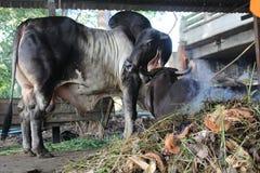 Mucca & bue Immagini Stock