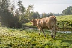 Mucca che cammina nell'erba rugiadosa Fotografie Stock