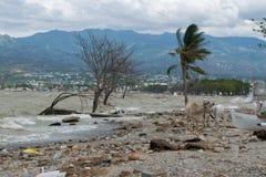 Mucca che gioca sulla linea costiera 3 mesi dopo il tsunami Palu immagine stock