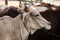 Mucca che grida in camion: tristezza, timore Immagine Stock Libera da Diritti