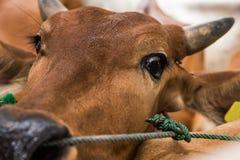 Mucca che grida in camion: tristezza, timore Immagine Stock