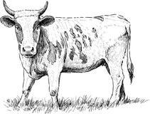 Mucca che guarda fisso Fotografia Stock