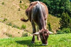Mucca che mangia erba fotografie stock