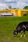 Mucca che mangia erba Fotografia Stock