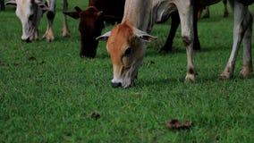Mucca che mangia erba archivi video