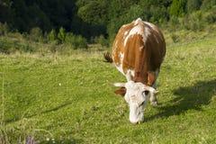 Mucca che mangia erba Immagini Stock