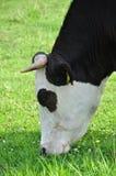 Mucca che mangia erba Immagini Stock Libere da Diritti