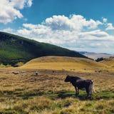 Mucca che mangia erba Fotografie Stock Libere da Diritti