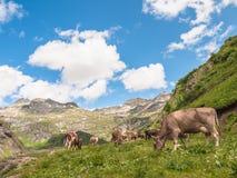 Mucca che mangia erba in alpi svizzere Fotografia Stock Libera da Diritti