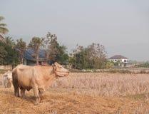 Mucca che mangia erba e paglia sul pascolo Fotografia Stock