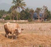 Mucca che mangia erba e paglia sul pascolo Fotografie Stock