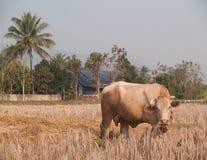 Mucca che mangia erba e paglia sul pascolo Immagini Stock
