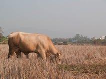 Mucca che mangia erba e paglia sul pascolo Fotografia Stock Libera da Diritti