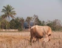 Mucca che mangia erba e paglia sul pascolo Immagine Stock