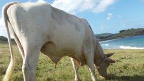 Mucca che mangia erba nello St Lucia Immagine Stock