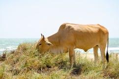 Mucca che mangia erba sulla spiaggia sabbiosa fotografie stock