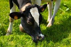Mucca che mangia erba verde su un prato Fotografie Stock